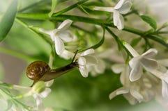 在开花的丁香的蜗牛 宏观,软的焦点 r 免版税库存照片