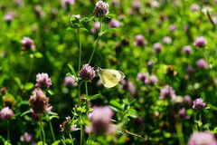 在开花的三叶草的领域的白色蝴蝶 免版税库存图片