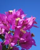 在开花的九重葛有作为背景的明亮的蓝天的 库存图片