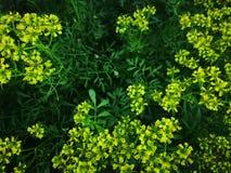 在开花的云香灌木的蜂 免版税库存图片