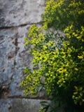 在开花的云香灌木的蜂 库存照片