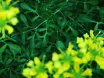 在开花的云香灌木的蜂 免版税图库摄影