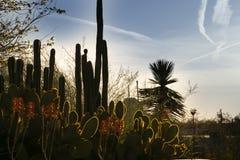 在开花的仙人掌植物后的太阳设置在菲尼斯,亚利桑那 库存图片