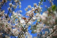 在开花的佐仓树的分支的蝴蝶 免版税库存照片