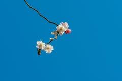 在开花的佐仓樱桃树 免版税库存照片
