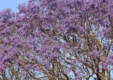 在开花的兰花楹属植物 免版税图库摄影