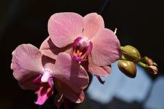 在开花的兰花 免版税库存照片