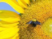 在开花的向日葵的一只木蜂 免版税库存照片