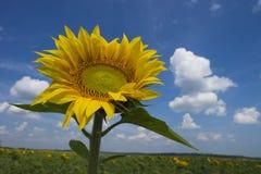 在开花的向日葵的背景领域的向日葵 免版税库存照片