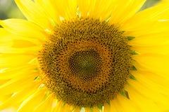 在开花的向日葵视图在根据setti的一个草甸 库存照片