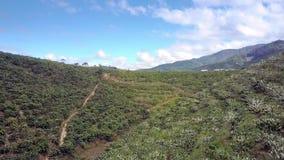 在开花的咖啡树在小山倾斜全景 股票录像