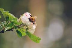 在开花的土蜂 免版税库存照片