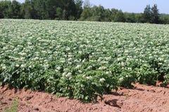 在开花的土豆领域 库存照片