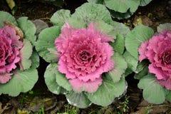 在开花的多色装饰圆白菜-生长在庭院里的新鲜的圆白菜 免版税库存图片