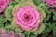 在开花的多色装饰圆白菜-生长在庭院里的新鲜的圆白菜 库存照片