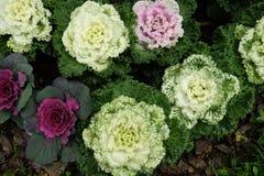 在开花的多色装饰圆白菜-生长在庭院里的新鲜的圆白菜 免版税库存照片
