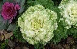 在开花的多色装饰圆白菜-生长在庭院里的新鲜的圆白菜 图库摄影