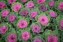 在开花的多色装饰圆白菜-生长在庭院里的新鲜的圆白菜 免版税图库摄影