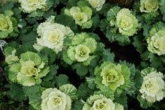 在开花的多色装饰圆白菜-生长在庭院里的新鲜的圆白菜 库存图片