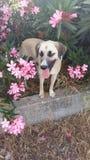 在开花的夹竹桃的狗 免版税图库摄影