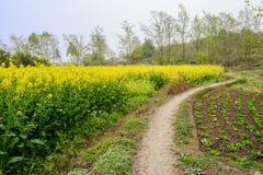 在开花的强奸土地旁边的乡下小径在晴朗的春天 免版税库存图片