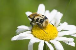 在开花的春黄菊上面的美丽的昆虫  宏观观点的unususal大臭虫坐授粉的一朵雏菊花 nat 库存照片