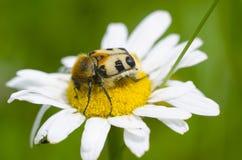在开花的春黄菊上面的美丽的昆虫  宏观观点的unususal大臭虫坐授粉的一朵雏菊花 nat 库存图片