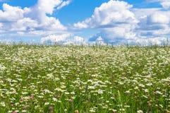 在开花的春黄菊草甸的明亮的夏日 免版税图库摄影