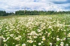 在开花的春黄菊草甸的明亮的夏日 免版税库存图片
