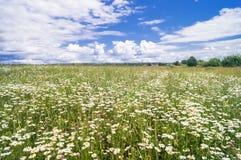 在开花的春黄菊草甸的明亮的夏日 免版税库存照片