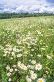 在开花的春黄菊草甸的明亮的夏日 库存照片