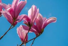 在开花的木兰树 美丽的紫色花 免版税库存照片