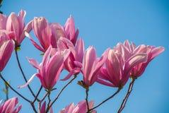 在开花的木兰树 美丽的紫色花 库存照片