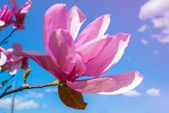 在开花的木兰树 美丽的紫色花 图库摄影