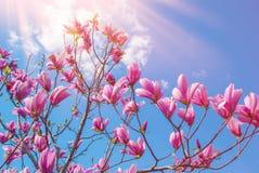 在开花的木兰树 美丽的紫色花 库存图片