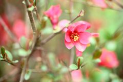 在开花的木瓜属分支 免版税库存图片