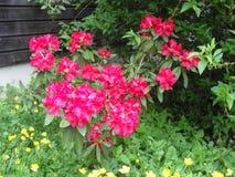 在开花的杜鹃花 库存照片