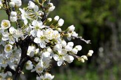 在开花的果树园枝杈 免版税库存图片