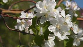 在开花的果树的分支的白花 股票视频