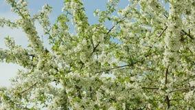在开花的树枝 股票录像