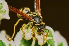 在开花的树的黄蜂 库存照片