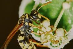 在开花的树的黄蜂 免版税库存图片