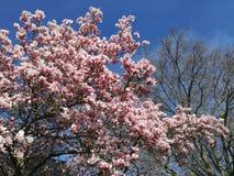 在开花的树 免版税库存图片