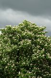 在开花的栗树 免版税库存图片