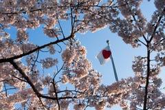 在开花的桃红色佐仓结构树 免版税库存图片