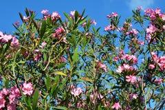 在开花的桃红色夹竹桃。 库存图片