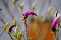 在开花的桃红色木兰 库存照片