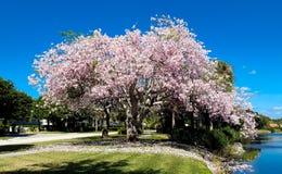 在开花的桃红色花盖的大树由河 免版税库存照片