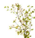 在开花的樱桃我 图库摄影