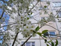 在开花的樱桃树分支 库存照片